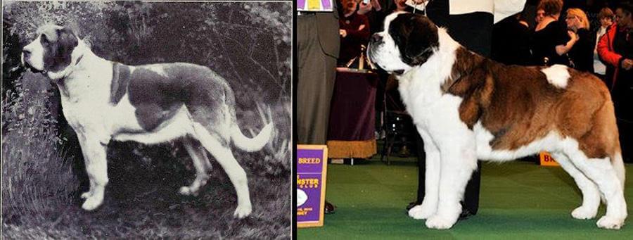 Как изменились породистые собаки